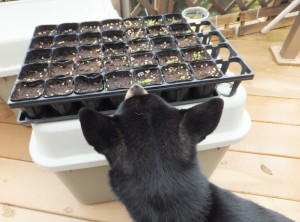 ほうれん草の成長具合を覗き込む黒柴ルイ