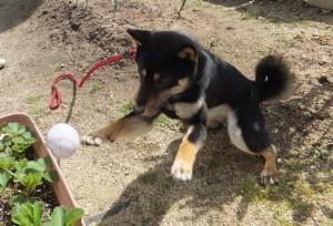 お庭でボール遊びをする黒柴ルイ