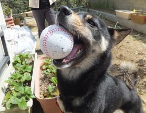 お庭でボール遊びができて満面の笑みの黒柴ルイ