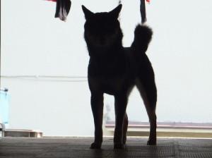 黒柴ルイのシルエット写真