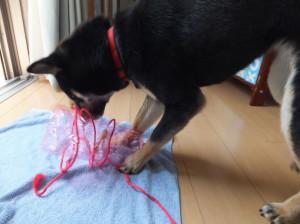 卵パックに結びつけた紐を解く黒柴ルイ