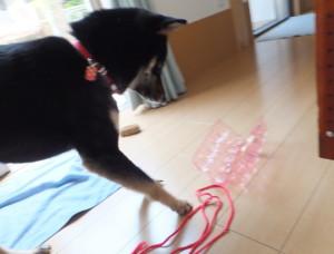 卵パックの紐を解く黒柴ルイ