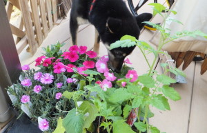お花の苗をクンクンする黒柴ルイ