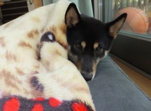 毛布にくるまって寝る黒柴ルイ
