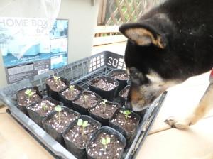 大根の新芽をクンクンする黒柴ルイ