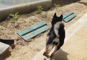 スイカ&唐辛子畑の前を駆け抜ける黒柴ルイ