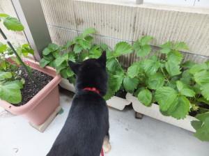 おいしそうなイチゴがないかプランターを覗き込む黒柴ルイ