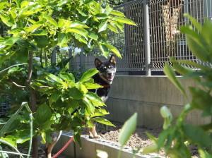 お庭の木の陰に隠れる黒柴ルイ