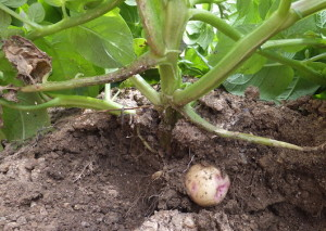 まだ未熟そうなジャガイモ