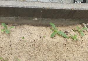 虫に食べられた大根畑