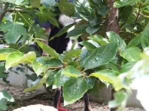 木の陰に隠れる黒柴ルイ