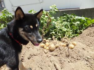大収穫のジャガイモと黒柴ルイ