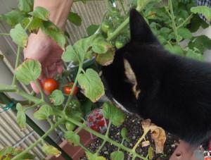 赤くなったトマトを取ってもらう黒柴ルイ