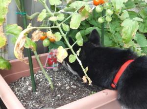 間違えて写真のトマトをクンクンする黒柴ルイ