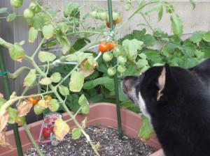 トマトを見上げる黒柴ルイ