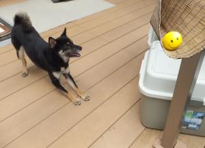 天日干ししているニコちゃんボールが欲しくておねだりする黒柴ルイ