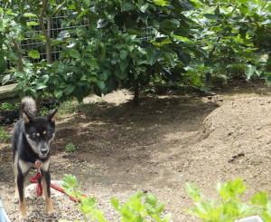 お庭に佇む黒柴ルイ