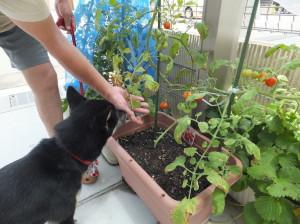ハート形のプチトマトと黒柴ルイ