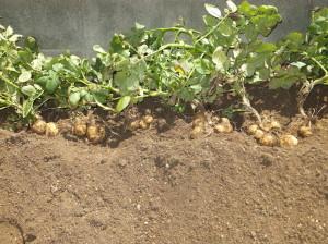 ジャガイモ掘りの成果