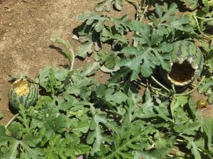 カラスに食い荒らされたスイカ畑