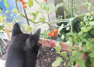 真っ赤に実ったトマトと黒柴ルイ