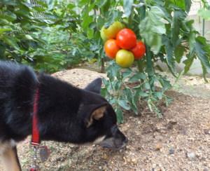 たわわに実ったトマトと黒柴ルイ