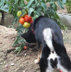トマトの大きさ比べを邪魔する黒柴ルイ