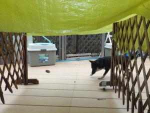 屋根のビニールシートが怖い黒柴ルイ