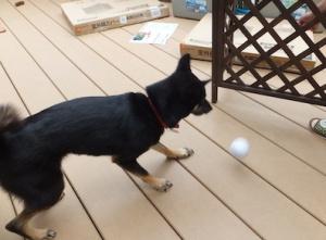 慌ててボールを取りに行く黒柴ルイ