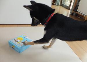 アイスの箱をパンチする黒柴ルイ