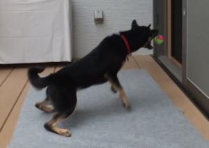 大好きなボールに飛びつく黒柴ルイ