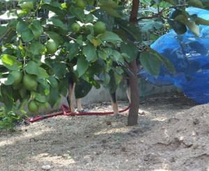 レモンの木陰に隠れる黒柴ルイ