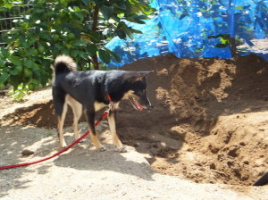 掘り返した穴の中を見つめる黒柴ルイ