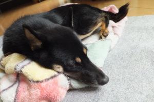毛布にくるまって気持ち良さそうに寝る黒柴ルイ
