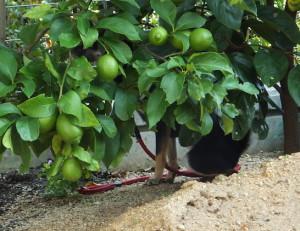 レモンの木陰でオシッコする黒柴ルイ