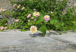 キレイに咲き誇るランタナ