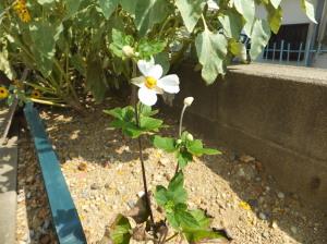 花を咲かせた秋明菊
