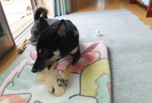 ヘチマのおもちゃで遊ぶ黒柴ルイ