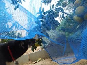 網の中に顔を突っ込んでミカンをクンクンする黒柴ルイ