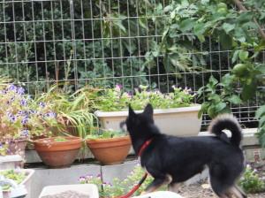 お庭を思いっきり駆け回る黒柴ルイ