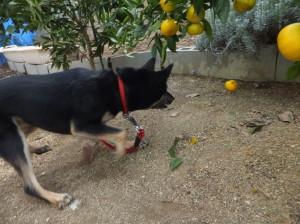 ミカンの木の下に転がっているミカンを見つけた黒柴ルイ
