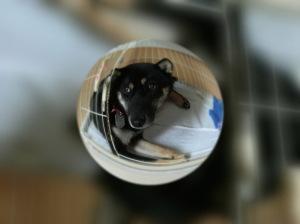 魚眼レンズで撮影した黒柴ルイ