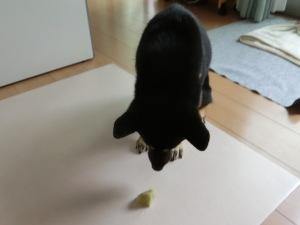 お芋さんを前に我慢する黒柴ルイ