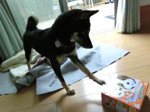 箱に入ったままのおもちゃで遊ぶ黒柴ルイ