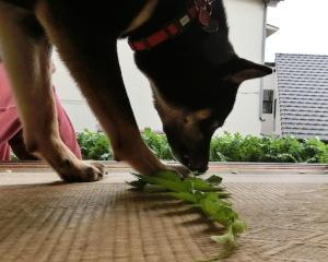 大根の葉を食べる黒柴ルイ