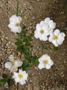 キレイに咲いた秋明菊