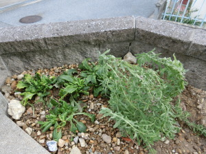 植え付けしたラベンダーとプリムラ