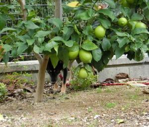 レモンの木に隠れる黒柴ルイ