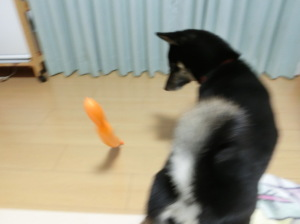風船で遊ぶ黒柴ルイ