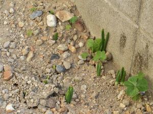 たくさん顔を出した水仙の芽